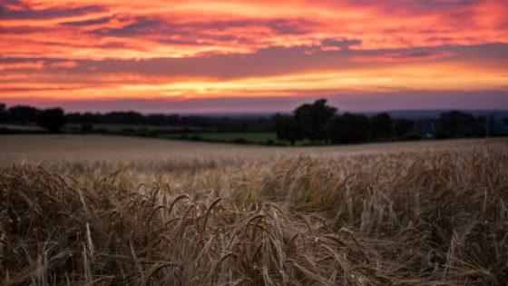 crop at sunset